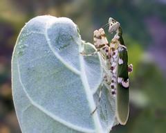 Indian flower mantis (1/3) (arian.suresh) Tags: india mantis animalia arthropoda andhrapradesh insecta hexapoda pterygota mantodea neoptera nellore creobroter hymenopodidae flowermantis hymenopodinae hymenopodini indianflowermantis skanfarmhouse ariansuresh 750d2016img5640