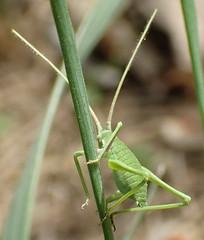 Acrometopa italica, Ramme 1927  preimago (Orthoptera: Tettigoniid: Phaneropterin: Acrometopini) (ciaociaoxxx) Tags: orthoptera tettigoniidae italica insecta phaneropterinae acrometopa acrometopini