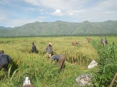 RIMG1059 (WorkingVillages) Tags: congo ruzizi wvi southkivu workingvillages