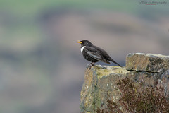 Ringed Ouzel  10.04.16 (Lee Myers - aka mido2k2) Tags: bird spring watch springwatch bbcspringwatch