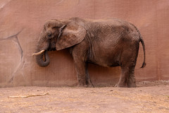 Camouflage Elephant (Explored 10-apr-2016 #246) (JnHkstr) Tags: elephant zoo nikon 70200 rhenen olifant dierentuin ouwehandsdierenpark d7100