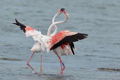 Rosaflamingo - Greater Flamingo - Flamant rose - Phoenicopterus roseus (Andreas Gruber) Tags: bird nature animal wildlife natur greaterflamingo phoenicopterusroseus tier vogel camargue flamantrose rosaflamingo andreasgruber