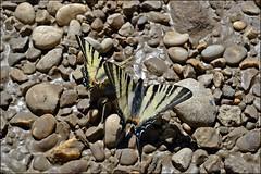 two butterflies (franciska_bosnjak) Tags: two nature stone butterfly nikon day earth d3100