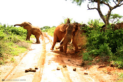 Elephants (andreahannahcooper) Tags: africa park holiday nature wildlife exploring working tourist falls adventure safari national experience elephants uganda volunteer murchison