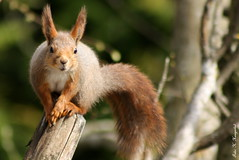 Hello little squirrel mum (K. Haagestad) Tags: cute animal closeup garden outdoors squirrel wildlife ekorn