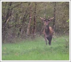 Cerf en velour (guiguid45) Tags: nature nikon animaux reddeer fort cerf sauvage loiret mammifres 500mmf4 d810 cervids