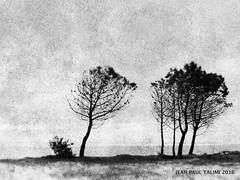 Je veux tre libre (JEAN PAUL TALIMI) Tags: mer texture nature monochrome solitude noiretblanc dune sable arbres extrieur arbre arcachon seul silouettes petitnice aquitaine gironde latestedebuch talimi