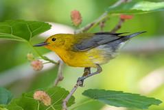 Prothono-Berry (PeterBrannon) Tags: bird nature tampa florida wildlife migration mulberry prothonotarywarbler protonotariacitrea yellowbird pinellascounty