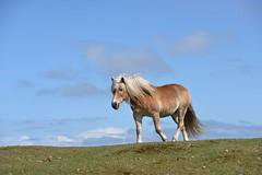 Ameland (Kesseljan) Tags: ameland paard hors chevalle