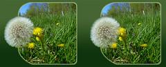Dandelion First To Seed 2 - Crosseye 3D (DarkOnus) Tags: macro closeup lumix stereogram 3d crosseye weed pennsylvania seed first dandelion panasonic stereo stereography buckscounty crossview dmcfz35 darkonus