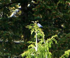 Western Bluebird, Blenkinsop Valley (kellermartha453) Tags: male female vancouver project island back bc hill victoria observatory valley breeding western pairs 1995 bluebird birders bring bluebirds 2012 nesting foraging blenkinsop extirpated reintroduce unbanded blenkinsopvalleybluebirdsapril142016