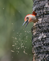 Under Construction (PeterBrannon) Tags: portrait bird nature woodpecker florida wildlife cleaning cavity redbelliedwoodpecker nesting melanerpescarolinus pinellascounty