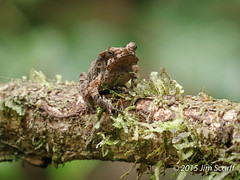 Unidentified small frog (Jim Scarff) Tags: wildlife frogs amphibians herps foreignamphibians