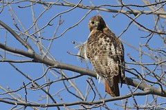 1.02877 Buse  queue rousse (adulte) / Buteo jamaicensis borealis / Red-tailed Hawk (Laval Roy gone birding to MX till mid-may) Tags: birds canon quebec aves oiseaux redtailedhawk rapaces buteojamaicensisborealis accipitriformes busequeuerousse accipitrids eos7d ef300mm14lisextender14xiii lavalroy