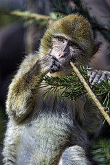 Macaque and fir (Tambako the Jaguar) Tags: portrait playing tree zoo monkey switzerland nikon branch sitting eating farm young fir bern primate macaque d4 barbary johnskleinefarm