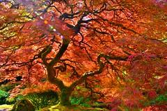 Japanese Maple, Portland Japanese Garden, Spring (Terra Nova Images) Tags: red oregon spring pacific northwest japanesemaple flare portlandjapanesegarden
