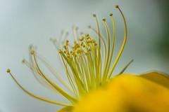 Harmony in Perfection - Explore # 108 (*Capture the Moment*) Tags: flowers macro yellow munich mnchen bokeh details pflanzen blumen gelb botanicgardens 2016 botanischergarten farbdominanz sonya7ii sonysel90m28g