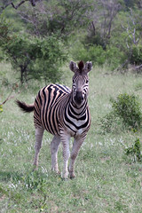 Zebra (little_duckie) Tags: africa southafrica buffalo zebra cheetah giraffe impala hyena rhinoceros krugernationalpark kruger gamedrive kudu bushbuck