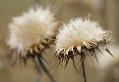 Life cycle (maria xenou - photodromos) Tags: life wild macro nature flora thistle natur softness pflanze seeds wildplant prickly leben distel stachelig lifecycle samen flauschig mittelmeer wonderfulnature  naturesperfection       wunderschnenatur perfektiondernatur