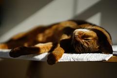 Life on a shelf (DizzieMizzieLizzie) Tags: portrait beautiful cat wonderful chats feline sony lizzie gato siesta meow katze abyssinian gatto katzen kot katt aby pisica mirrorless a7m2 dizziemizzielizzie
