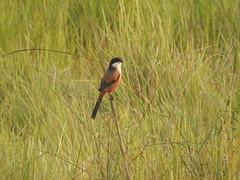 DSCN3291long-tailed shrike or bhadrai in Chitwan NP nepal (jeaniephelan) Tags: nepal bird longtailedshrike