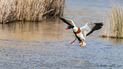 totally commited (blackfox wildlife and nature imaging) Tags: wales canon wildlife ducks bif shelduck 80d conwayrspb sigma150600mmossport