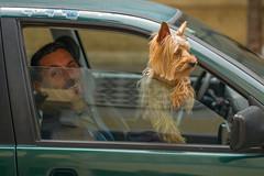 P1000069 (sswee38823) Tags: auto leica dog man window car photography 50mm photo spring spain automobile apo spanish photograph 50 littledog leicacamera jerezdelafrontera leicam aposummicron jerezdelafronteraspain leicaaposummicronm50mmf2asph leicamtype240 aposummicron50 leicaaposummicronm50mmasph leicaaposummicronm50mmf2asphfle aposummicronm1250asph leicaapo502 50aposummicron leica50apo