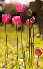 Pink TulipsFE (Simon Clarke Photography) Tags: pink flowers light sun flower green simon canon stem tulips 100mm tulip harlow essex clarke 80d simonclarkephotography