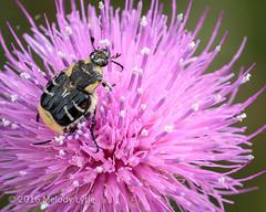 Flower Scarab Beetle (karenmelody) Tags: usa animal animals insect texas beetle insects beetles invertebrate invertebrates coleoptera centraltexas scarabaeidae traviscounty subfamilycetoniinae trichiotinustexanus eastmetropolitanpark flowerscarabbeetle easttraviscounty easterntraviscounty