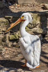 John Ball Zoo Pelicans-2016-2.jpg (scorpio71gr) Tags: bird pelicans animal outdoors zoo unitedstates pentax michigan grandrapids k3 johnballzoo da60250f4