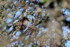 bouscarle de Cetti ( Cettia cetti ) Erdeven 160418a2 (pap alain) Tags: france bretagne morbihan oiseaux erdeven cettiacetti cettiswarbler bouscarledecetti passereaux cettids