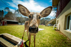 Hi there (ylacaillemoisan) Tags: nikon wideangle deer tokina lightroom 1116 d7100