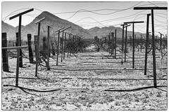 IMG_0460 (KathleenColbourn) Tags: blackandwhite abandoned vineyard wine trellis grapes highkey