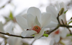 A beautiful magnolia (Carrie YL) Tags: white plant flower color canon spring magnolia purity