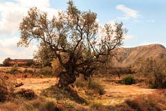 IMG_8685 strange,peculiar,curious,... (jaro-es) Tags: espaa tree nature canon arbol spain natur olive natura oliva baum spanien naturesfinest olea spanelsko naturewatcher eos70d naturemaster