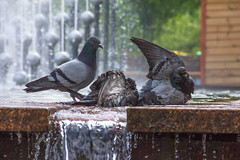 Three Men in a Tub (Roblawol) Tags: street water fountain birds animals spring wings bath europe candid pigeons feathers ukraine bathing zhytomir zhytomyr