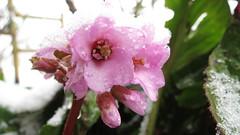 IMG_3965 (MY SECRET WINDOW) Tags: neve bergenia fiore inverno freddo pianta ghiaccio fiocchi saxifragaceae fioritura