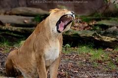 Afrikaanse leeuw - Panthera leo leo - African Lion (MrTDiddy) Tags: female cat tooth mammal zoo big kat feline leo african teeth lion bigcat antwerp caitlyn antwerpen zooantwerpen tanden grote tand leeuw panthera vrouwelijk zoogdier afrikaanse grotekat