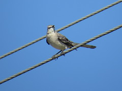 Northern Mockingbird - Texas by SpeedyJR (SpeedyJR) Tags: nature birds texas wildlife northernmockingbird nwr mockingbirds anahuacnationalwildliferefuge anahuacnwr nationalwildliferefuges chamberscountytexas speedyjr ©2015janicerodriguez