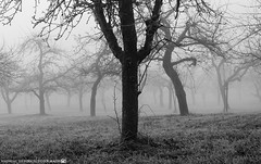 A misty November Morning in the Orchards 2. (andreasheinrich) Tags: november trees winter blackandwhite cold fog germany landscape deutschland moody nebel kalt landschaft bäume orchards badenwürttemberg blackandwhitephotos düster neckarsulm schwarzweis obstwiesen nikond7000