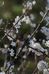 IMG_6511 (armadil) Tags: flowers flower tree bird birds backyard junco plumtree plumflower plumflowers