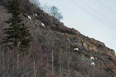 DC0_6941 (Eisbier) Tags: winter mountain animal alaska mammal nikon sheep sigma d750 grazing dall sewardhighway 150500