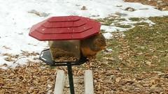 January 18, 2016 - A squirrel raids a bird feeder in Broomfield.  (David Canfield)