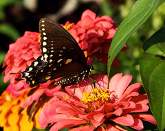 Late Summer Visitor (Cam Miller 2016) Tags: garden insect september zinnia goldenhour latesummer spicebushbutterfly cammiller