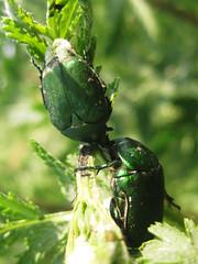 Protaetia ungarica (Herbst, 1790) (sotnik_on) Tags: ecology ukraine steppe airbase coleoptera rosechafer poltava scarabaeidae protaetia scarabaeoidea cetoniinae ungarica entoofauna