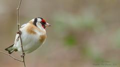 Chardonneret lgant (Carduelis carduelis)-2 (lolo_31) Tags: birds aves oiseaux fringillidae cardueliscarduelis europeangoldfinch chardonneretlgant fringillids passriformes