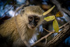 DSC03364 (Nickyfredriksson) Tags: monkey sweden sony south afrika nicky vervet zambia 2015 fredriksson luanga