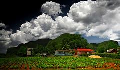 tobacco field / Viñales - Cuba (André Schönherr) Tags: plants green nature field clouds natur cuba feld wolken grün vinales tobacco tabak kuba plantage 40d