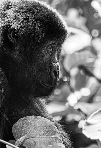 Tracking Gorillas in Kahuzi-Biega National Park