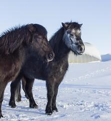 Icelandic Pony (ingolfssonvalur) Tags: horses pony icelandic hestar villingavatn braggatun